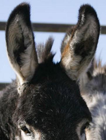 Burro Ears